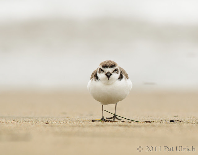 Calling snowy plover, Point Reyes National Seashore - Pat Ulrich Wildlife Photography