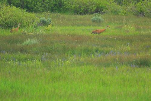 IMG_5301 Sandhill Crane
