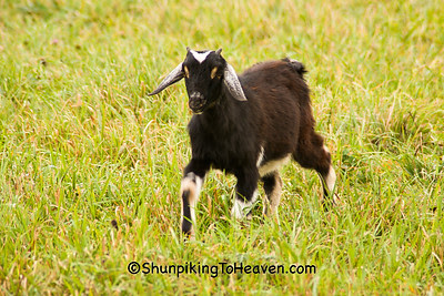 Goat in the Pasture, Sauk County, Wisconsin