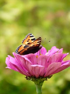 Papillon sur fleur rose