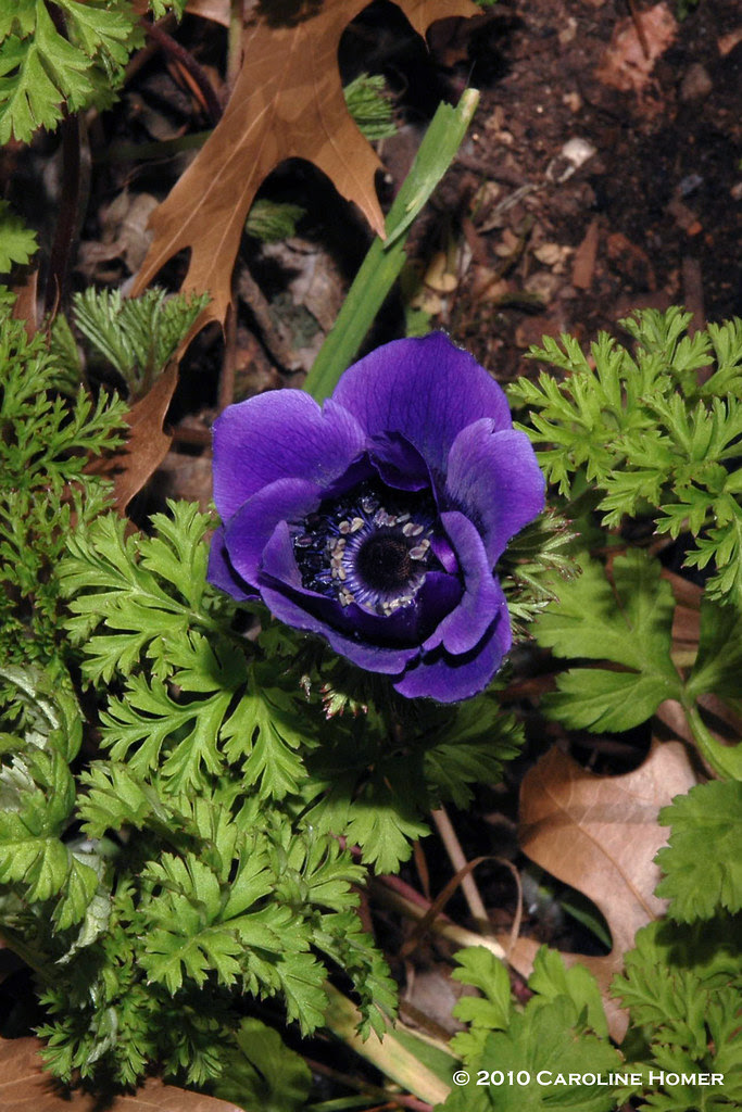 """Blue Poppy"" anemone"