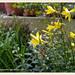 Garten Schawerda: selten zu sehen, duftende wild-taglilie | 2013-06