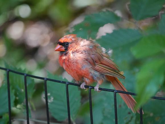 Ed Gaillard: birds &emdash; Papa Cardinal