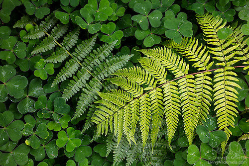 Carpet of Ferns and Clover, Bellevue, Washington