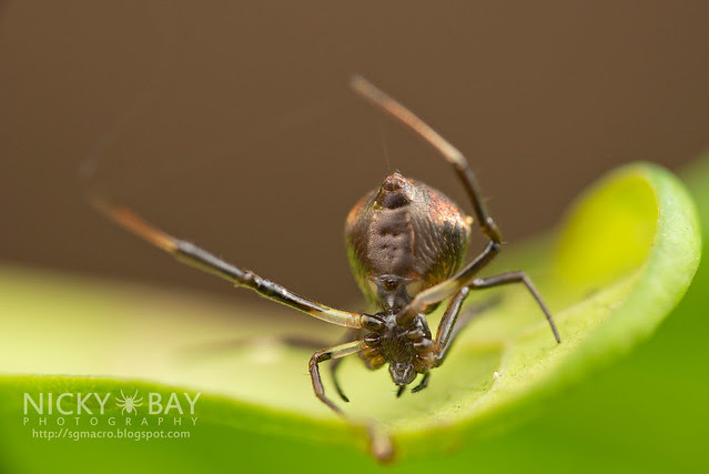 Comb-Footed Spider (Janula sp.) - DSC_1690