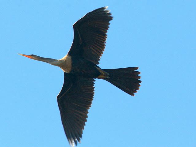 Anhinga Overhead 20091114