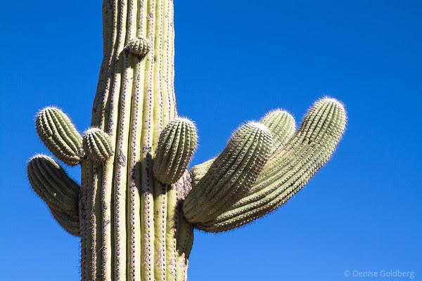 shapes of a saguaro cactus