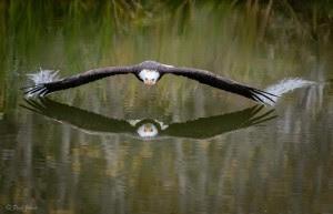eagle in Canada