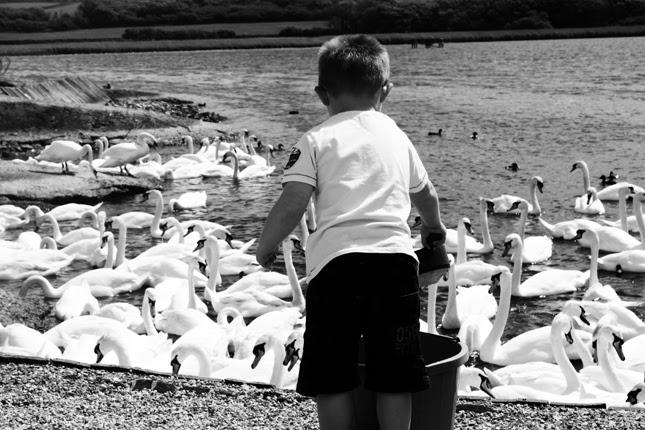 Feeding Swans at Abbotsbury Swannery