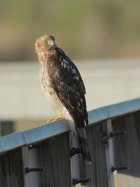 Broad-winged Hawk 20121207