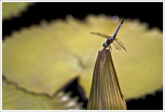 Dragonflies at MoBot 6