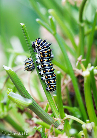 Black Swallowtail Caterpillar on parsley