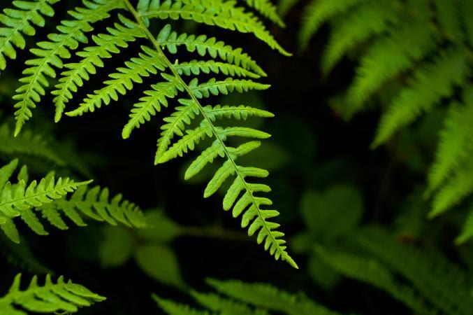 Types  of Ferns  LoveToKnow