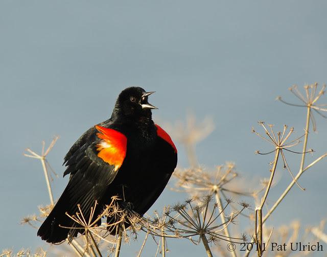 Singing blackbird at Berkeley Marina - Pat Ulrich Wildlife Photography