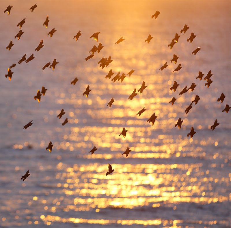 Starlings over sea