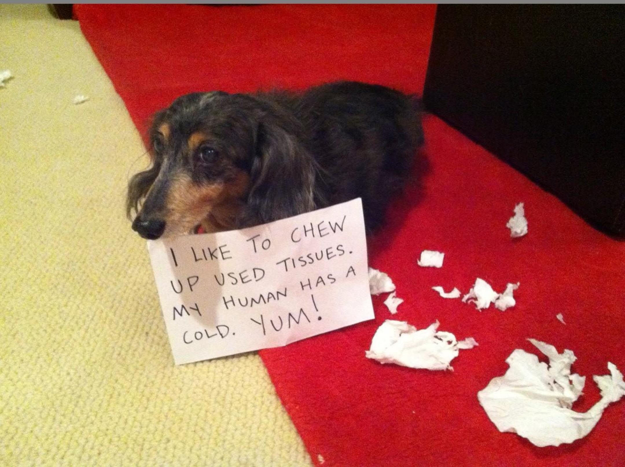 Image result for dachshunds chewing up something