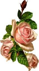 three-pink-roses