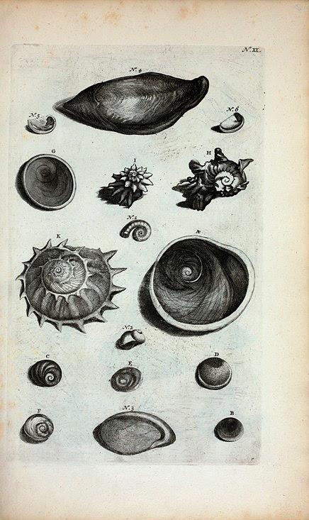 Umbilicorum Marinorum Species. A.B.C.D. Umbilici Marini : A. Est operculum Auris Gigantum; B. Umbilicus Marinus niger, est operculum Cochleæ Petholatæ et Cochleæ Lunaris aspræ; C. Est Umbilicus Veneris ex Mari Mediterraneo proventus; D. Umbilicus Marinus Granulatus; E. Umbilicus Veneris Maris Mediterranei inversus; F. G. sunt aliæ species; H. Cochlea Laciniata.; I. Calcar; K. Calcar Majus; Fig. 1. Cornu Ammonis; Fig. 2. Carina Holothuriorum; 3.  et 4. Unguis Odoratus, seu Onyx Marina, Conchula Indica, quæ in pharmacopoliis Blatta Byzantia nuncupatur.