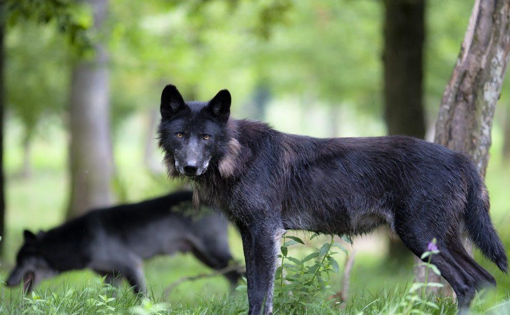 Lobos Negros Salvajes Imágenes Y Fotos