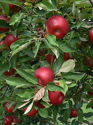 pommes rouges.jpg