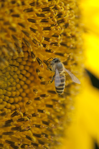 Bee & Sunflower
