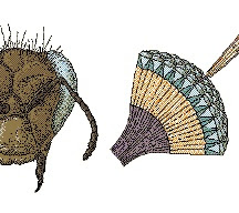 http://www.everythingabout.net/articles/biology/animals/arthropods/insects/compound_eye.jpg
