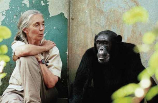 χιμπατζής wonda