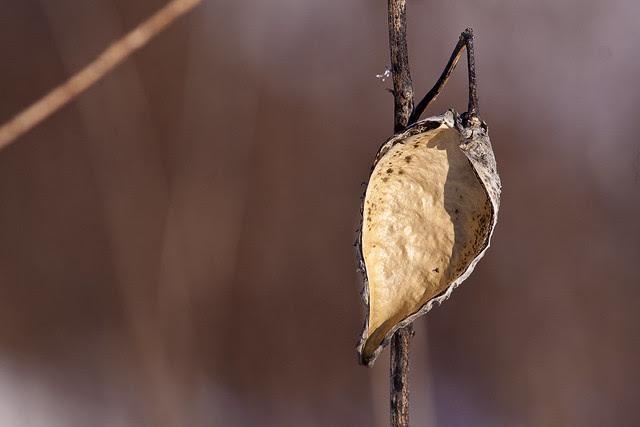 bare milkweed pod2