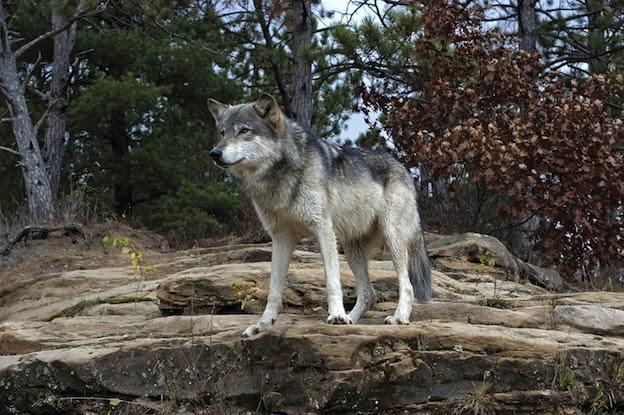 Resultat d'imatges de lobo gris