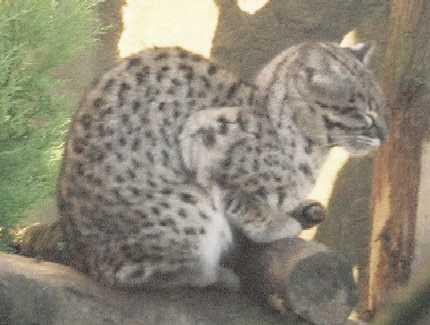 Domestic X Geoffroy S Cat Domestic X Jaguarundi Domestic X Fishing Cat Hybrids