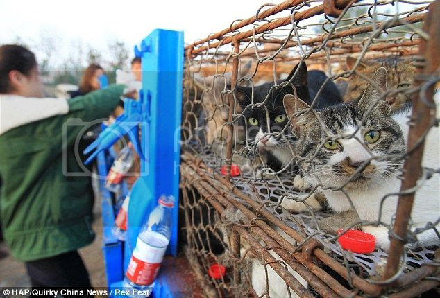 Rescatados gatos en China destinados a restaurantes