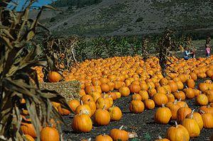 Pumpkin patch in Half Moon Bay.