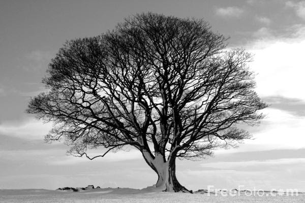 Tree Black And White Pictures Free Use Image 150133 By Freefoto