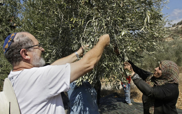 Activist Rabbi Yehiel Grenimann and others from Rabbis For Human Rights join members of the Palestinian Awwad family picking olives in the West Bank village ...