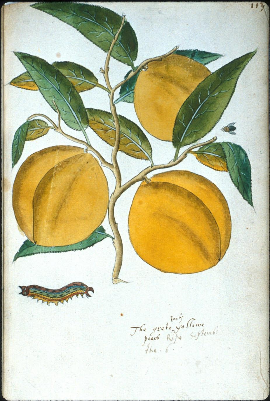 The grete -Early- yollow peech