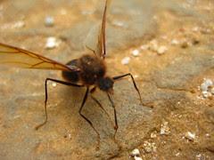 Hormiga culona en libertad