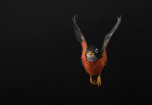 american-robin-diana-beltran-herrera