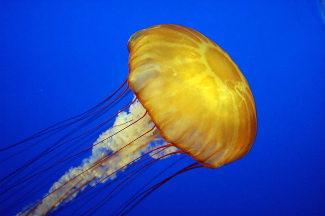 12. Jellyfish live, according to the results of observations in the 15-30 times longer than a shark.  marine life, ocean, Horror