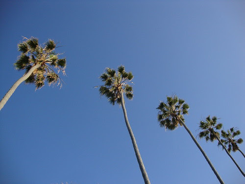 La Jolla palm trees