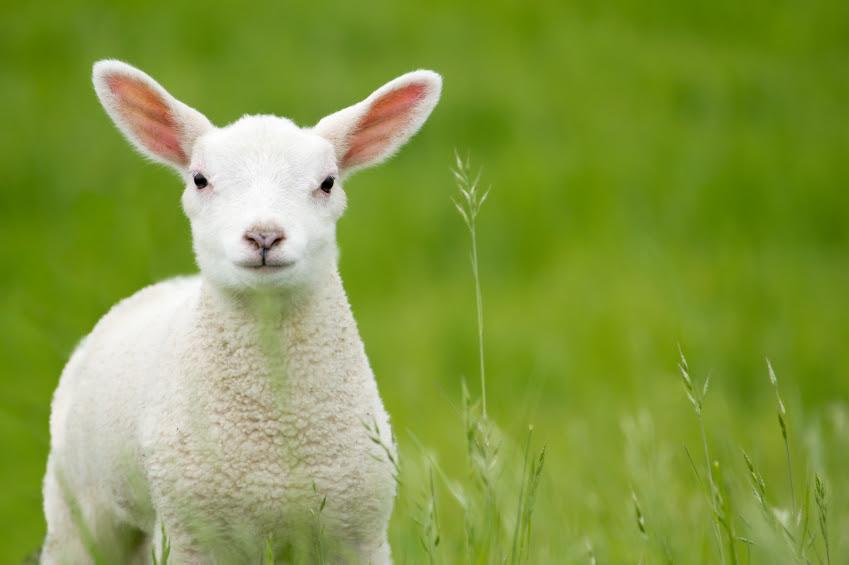Risultati immagini per agnello