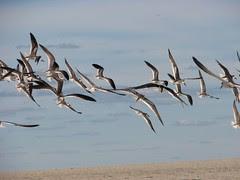 flying skimmers