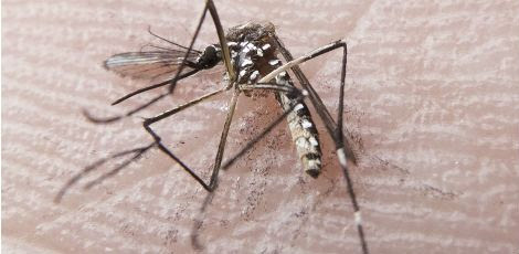 Mosquito é o responsável por transmitir dengue, chicungunha e zika vírus para os seres humanos / Foto: Rafael Neddermeyer/ Fotos Públicas