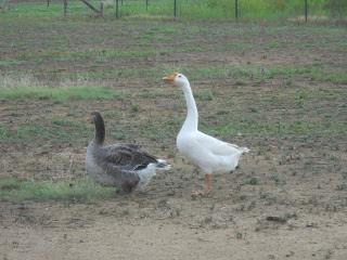 Gustav Our Gander & Gigi Our Goose