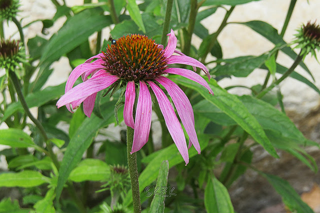 IMG_5676PurpleConeflower