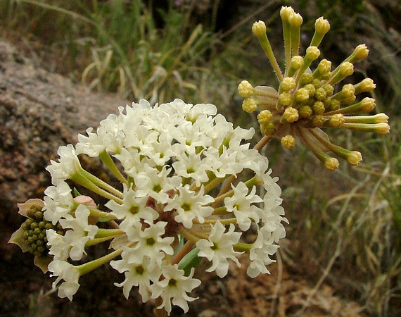 Prairie Snowball in Rattlesnake Canyon
