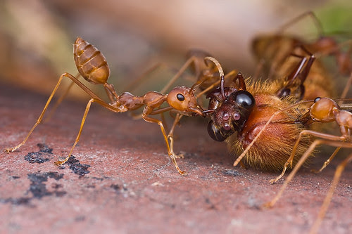 Weaver ants with dead wasp...IMG_1154 copy