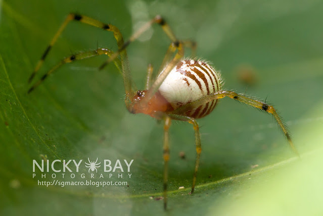 Comb-footed spider (Theridiidae) - DSC_5789