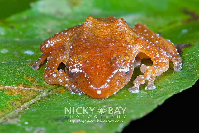 Spotted Tree Frog (Nyctixalus pictus) - DSC_0642