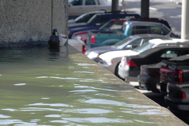 fountain + duck