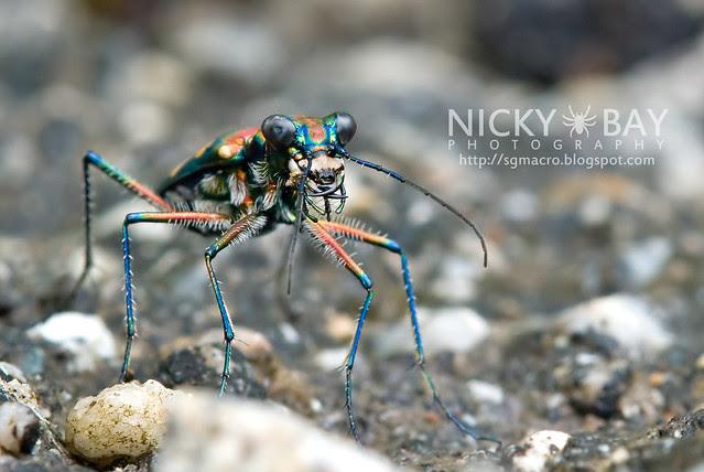 Tiger Beetle (Cicindelinae) - DSC_7012